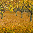 Orchard in Autumn — Stock Photo