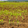 Sprouting Corn Crop — Stock Photo