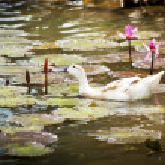 Ducks on Pond — Stock Photo
