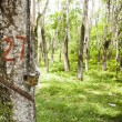 Rubber Plantation - Stock Photo