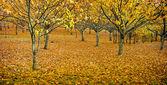 Orchard in Autumn — Stock Photo