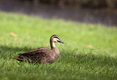 Pacific Black Duck — Stock Photo