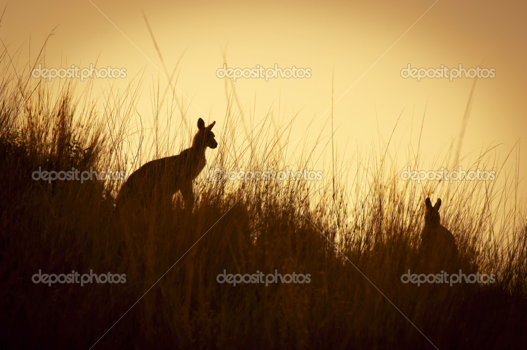 Australian Kangaroo's silhouetted at sunset in the wild — Stock Photo #7838259