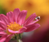 Water drop on pink flower — Stock Photo