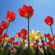 Red and Yellow Tulips — Stock Photo #7766866