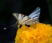 Butterfly on the Tagetes — Stock Photo