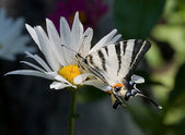 Butterfly on the daisy — Stock Photo