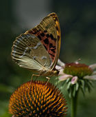 Butterfly drinking nectar — Stock Photo