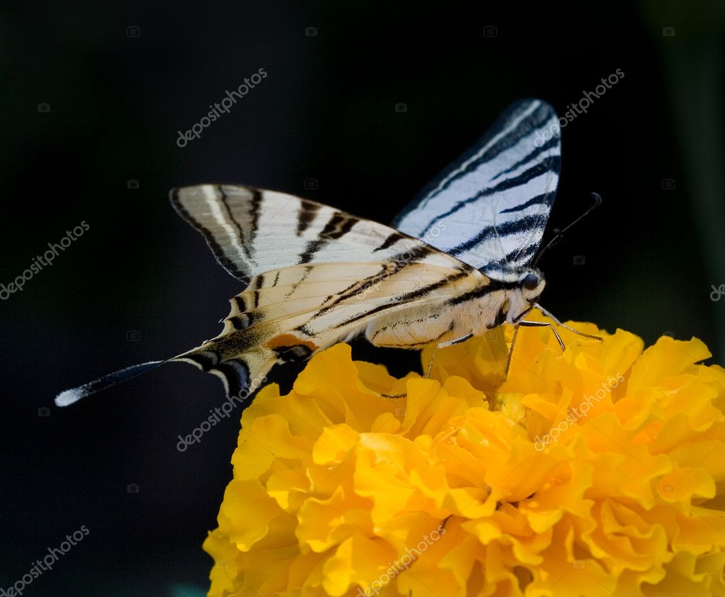 Butterfly on the Tagetes  Stock Photo #7959311