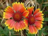 Duas flores em close-up — Fotografia Stock