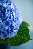 Blue hydrangea — Stock Photo