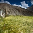 Wheat field located in Marhka Valley near city of Leh India — Stock Photo