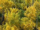 Jesienny brzozowy las — Fotografia Stock