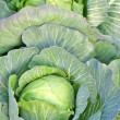 Autumn harvest of the cabbage — Stock Photo