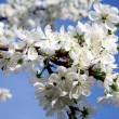 Branch of cherry blossom in spring — Stock Photo