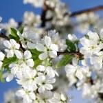 Beauty blossoms on blue sky — Stock Photo
