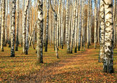 Pathway in autumn birch grove in october — Stock Photo
