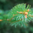 Spruce green — Stock Photo #7956406