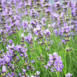 Detail of a lavender field — Stock Photo