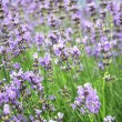 Detail of a lavender field - Stock Photo