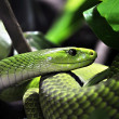 Foto Stock: Green Tree Python