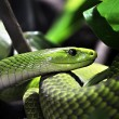 Stockfoto: Green Tree Python