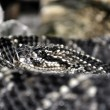 Stock Photo: Rattlesnake Closeup