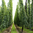 Field of Hops — Stock Photo