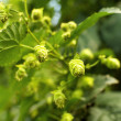 Постер, плакат: Hops Closeup