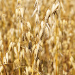 Ears of ripe oat on a field in summer — Stock Photo