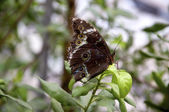 Owl butterfly Closeup — Stock Photo