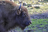 Wisent European Bison — Stock Photo