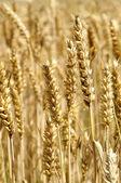 Espigas de trigo — Fotografia Stock