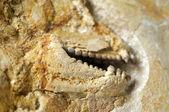 Dentes fósseis — Fotografia Stock