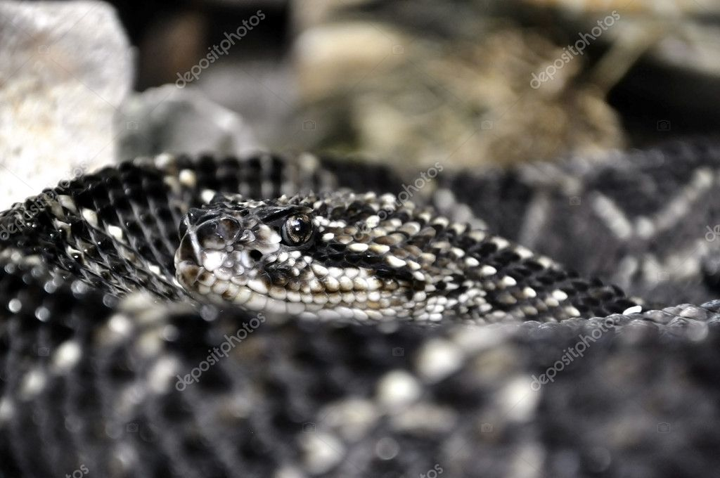Closeup of a rattlesnake's head  Stock Photo #7867778