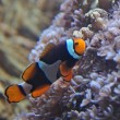 Clownfish on a Reef — Stock Photo
