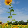 A large sunflower — Stock Photo