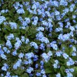 Bed of Forget-me-not flowers — Stock Photo