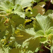 Shiso leaves — Stock Photo
