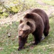 Brown Bear — Stock Photo #7875153
