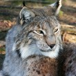 Lynx in close-up — Stock Photo