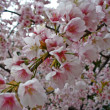 Cherry blossoms (Sakura) — Stock Photo