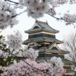 Matsumoto Castle during cherry blossom (Sakura) - Stock Photo