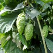 Постер, плакат: Hops umbels
