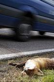 車でフォックス轢死 — ストック写真