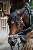 Carriage horse — Stock Photo