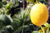Lemon on tree — Stock Photo