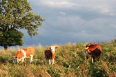 Oxen on a meadow — Stock Photo