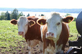 Cows in Bavaria — Stock Photo