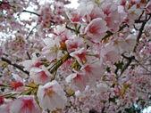 Cherry blossoms (Sakura) — Stock Photo